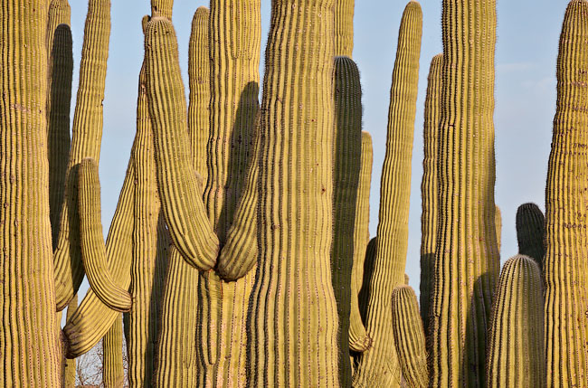 Wall of Saguaros